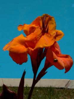 Orangeflwr_beetle2